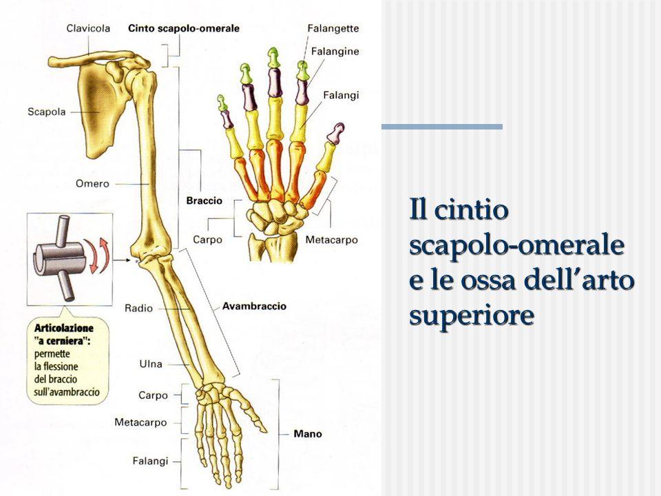 Il cintio scapolo-omerale e le ossa dellarto superiore
