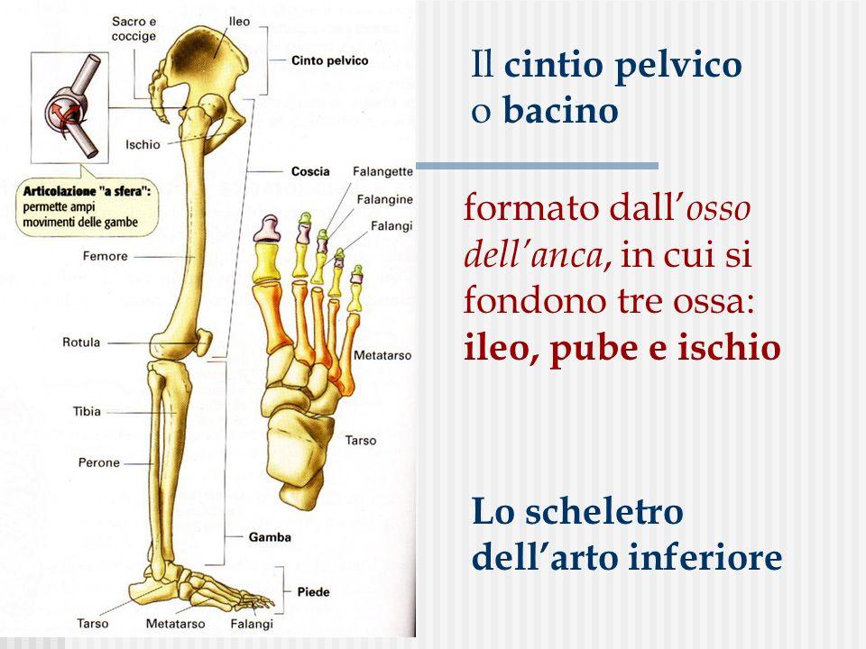 Il cintio pelvico o bacino formato dall osso dellanca, in cui si fondono tre ossa: ileo, pube e ischio Lo scheletro dellarto inferiore