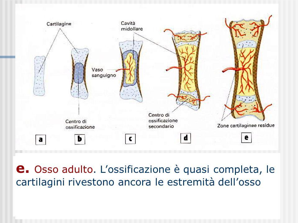 a. Nel periodo embrionale tutto losso è costituito da cartilagine b. Dal secondo mese di gravidanza comincia lossificazione a partire da una zona cent
