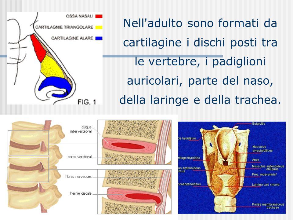 Nell'adulto sono formati da cartilagine i dischi posti tra le vertebre, i padiglioni auricolari, parte del naso, della laringe e della trachea.