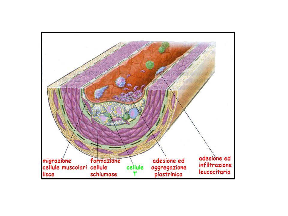 migrazione cellule muscolari lisce formazione cellule schiumose cellule T adesione ed aggregazione piastrinica adesione ed infiltrazione leucocitaria
