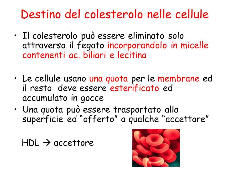 Il colesterolo può essere eliminato solo attraverso il fegato incorporandolo in micelle contenenti ac.