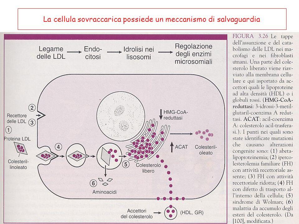 Condizioni che favoriscono lo sviluppo delle cellule schiumose Morte del tessuto adiposo: in seguito ad un trauma formazione di cellule di Touton (cellule schiumose giganti) Manutenzione del polmone polmonite lipidica per presenza di cellule schiumose (formate per ingestione di surfactante e LDL) Xantomi e xantelasmi Colesterolosi della colecisti Aterosclerosi