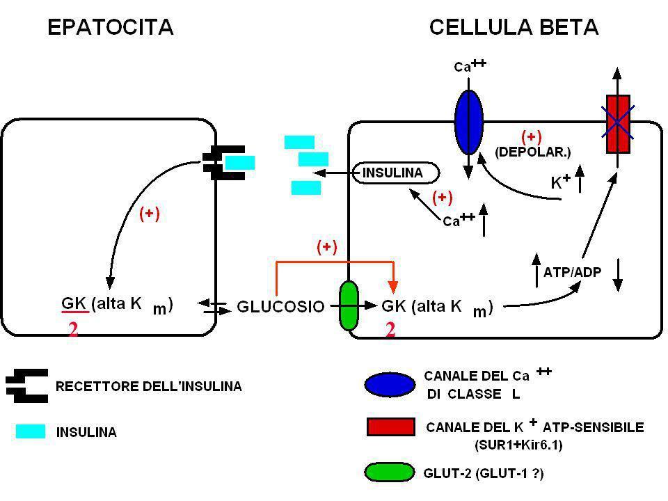 Le mutazioni GCK/MODY 2 (1) Il gene della glucochinasi (GCK) è uno dei sette geni noti che causano un sottotipo monogenico di diabete mellito denomina