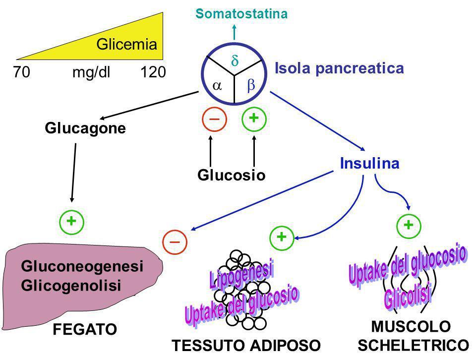 Il controllo fisiologico dei livelli ematici del glucosio Il glucosio ematico è regolato entro limiti stretti. Il controllo fisiologico della glicemia