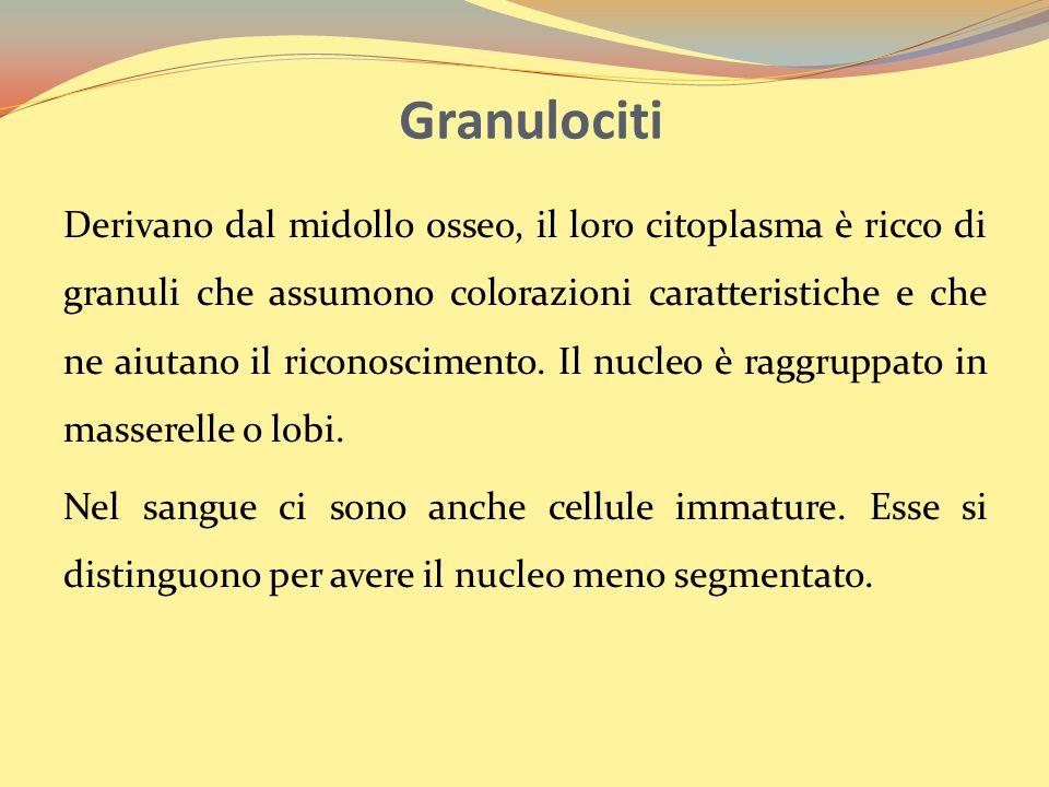 Granulociti Derivano dal midollo osseo, il loro citoplasma è ricco di granuli che assumono colorazioni caratteristiche e che ne aiutano il riconoscimento.