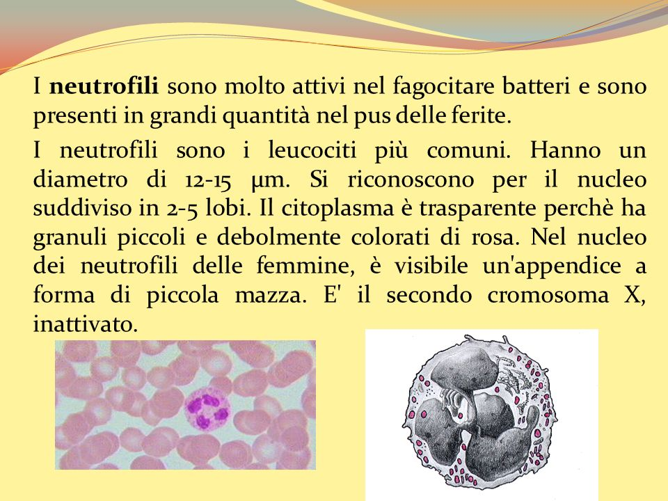 I neutrofili sono molto attivi nel fagocitare batteri e sono presenti in grandi quantità nel pus delle ferite.