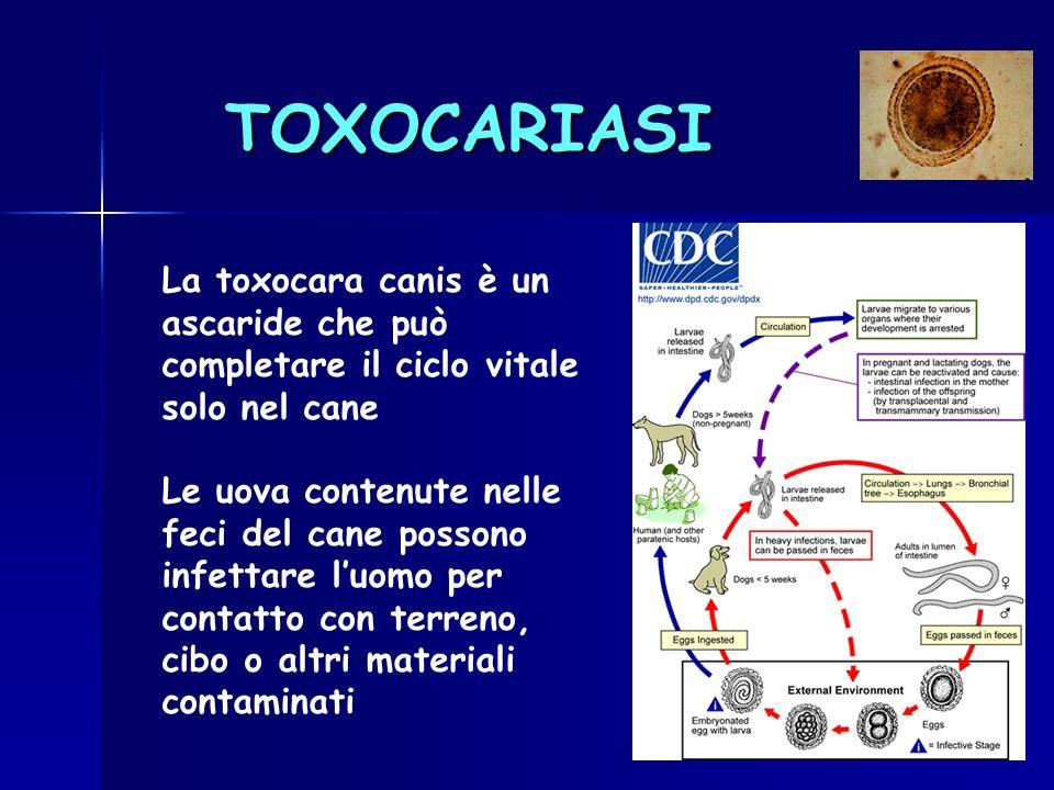 TOXOCARIASI La toxocara canis è un ascaride che può completare il ciclo vitale solo nel cane Le uova contenute nelle feci del cane possono infettare l