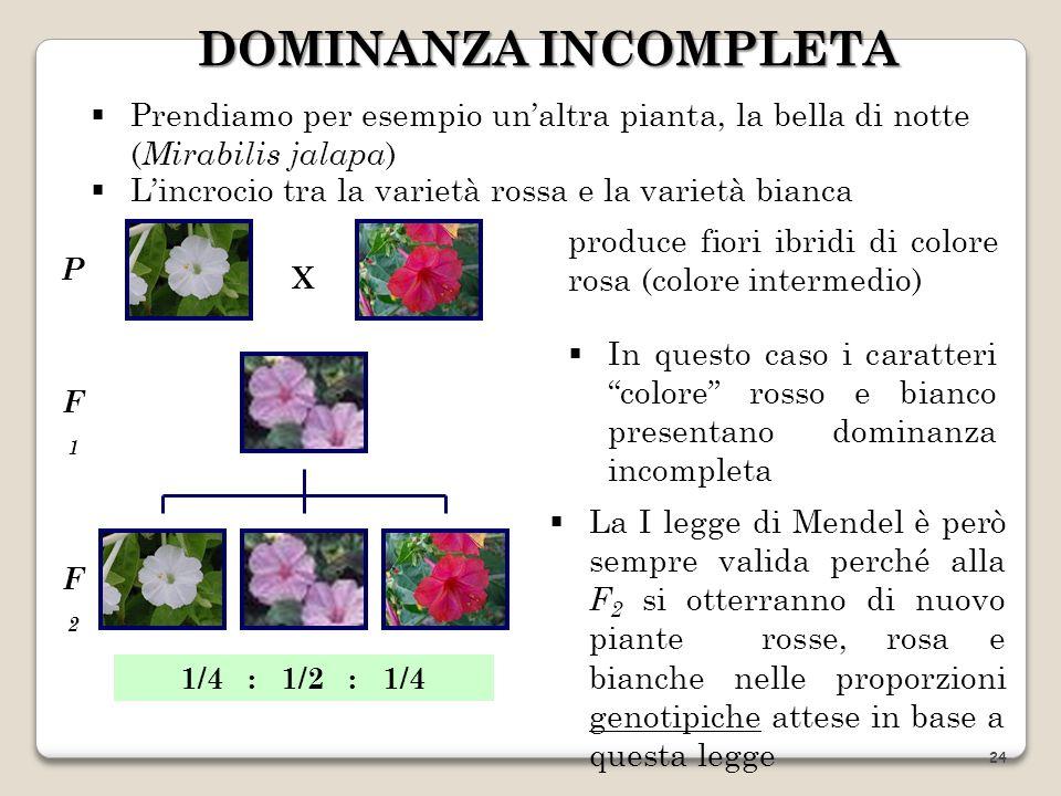 produce fiori ibridi di colore rosa (colore intermedio) In questo caso i caratteri colore rosso e bianco presentano dominanza incompleta Prendiamo per