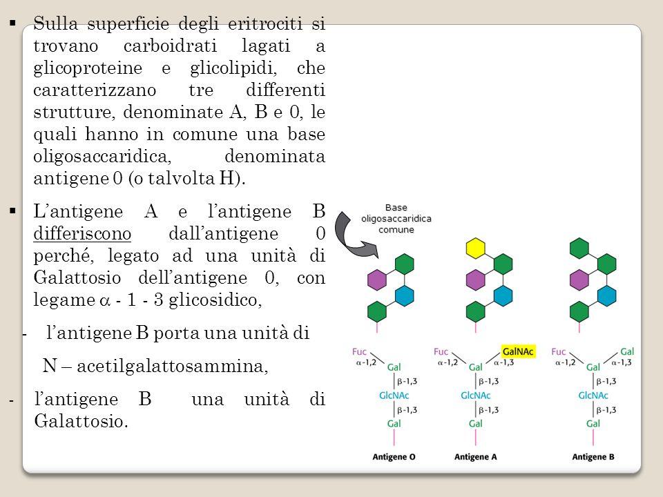 Sulla superficie degli eritrociti si trovano carboidrati lagati a glicoproteine e glicolipidi, che caratterizzano tre differenti strutture, denominate