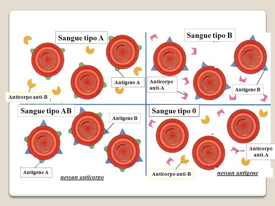 Anticorpo anti-A Anticorpo anti-B Anticorpo anti-A Antigene B Antigene A Sangue tipo A Sangue tipo 0 Sangue tipo B Sangue tipo AB Anticorpo anti-B nes