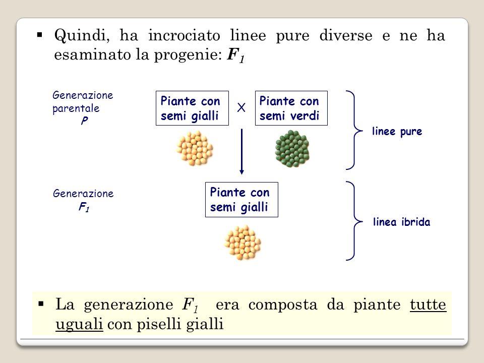 Quindi, ha incrociato linee pure diverse e ne ha esaminato la progenie: F 1 La generazione F 1 era composta da piante tutte uguali con piselli gialli