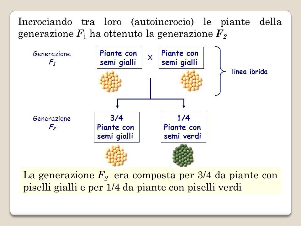 Incrociando tra loro (autoincrocio) le piante della generazione F 1 ha ottenuto la generazione F 2 La generazione F 2 era composta per 3/4 da piante c