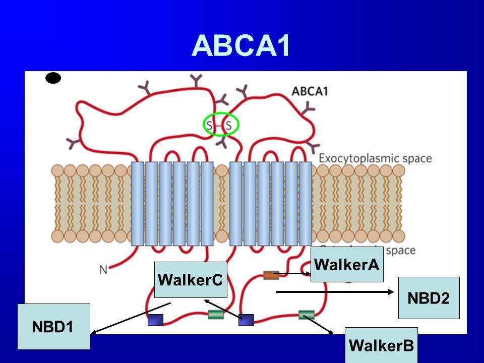 ABCA1 NBD1 NBD2 WalkerB WalkerA WalkerC