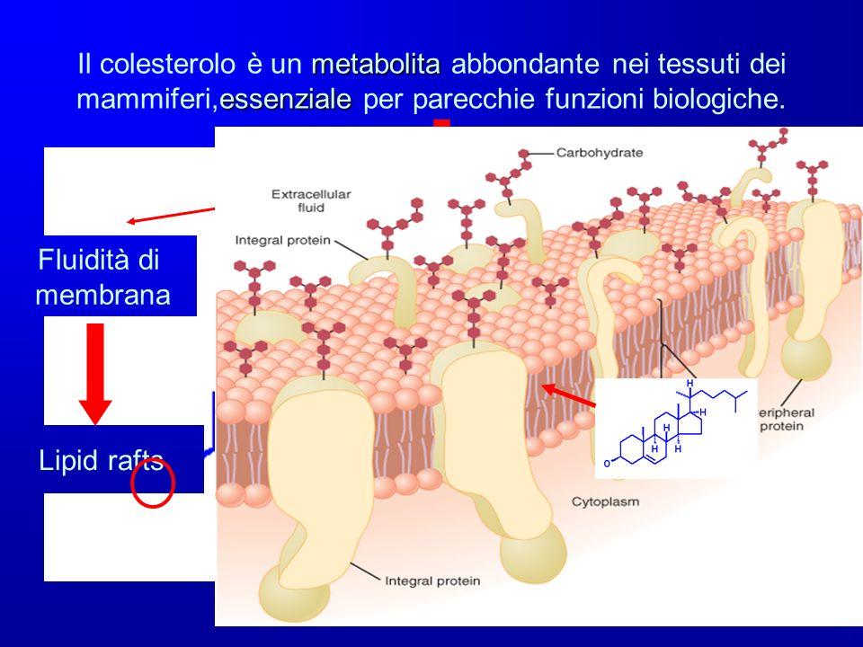 metabolita essenziale Il colesterolo è un metabolita abbondante nei tessuti dei mammiferi,essenziale per parecchie funzioni biologiche. Fluidità di me