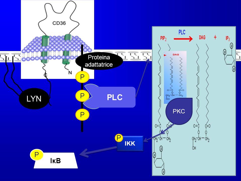 LYN Proteina adattatrice P P P PLC PKC IKK P NF- κB IκBIκB P