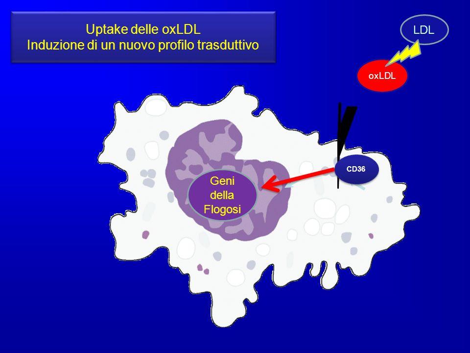 CD36 oxLDL Geni della Flogosi Uptake delle oxLDL Induzione di un nuovo profilo trasduttivo Uptake delle oxLDL Induzione di un nuovo profilo trasduttiv