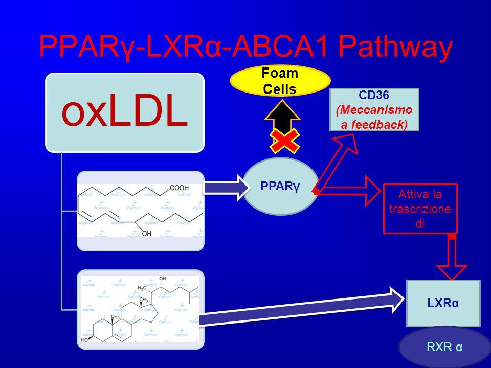 PPARγ-LXRα-ABCA1 Pathway oxLDL Acidi grassi ossidati ossisteroli PPARγ Attiva la trascrizione di LXRα RXR α CD36 (Meccanismo a feedback) Foam Cells