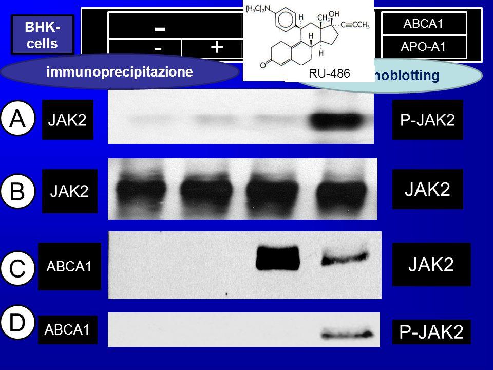 - + - + - + ABCA1 APO-A1 ABCA1 C JAK2 IP IB JAK2 ABCA1 P-JAK2 JAK2 P-JAK2 A B D immunoblotting immunoprecipitazione BHK- cells RU-486