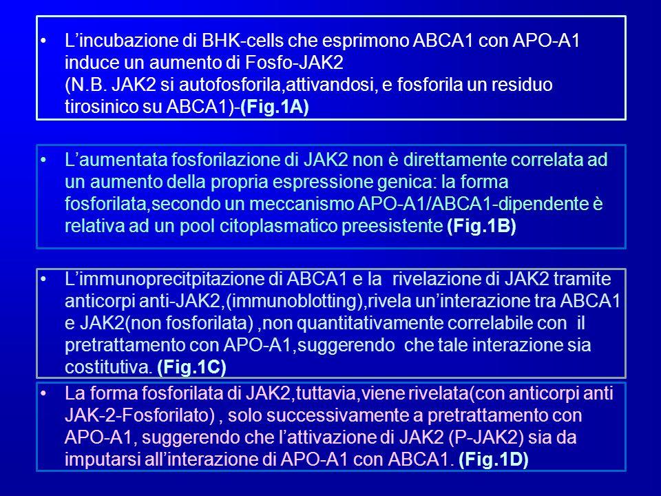 Lincubazione di BHK-cells che esprimono ABCA1 con APO-A1 induce un aumento di Fosfo-JAK2 (N.B. JAK2 si autofosforila,attivandosi, e fosforila un resid