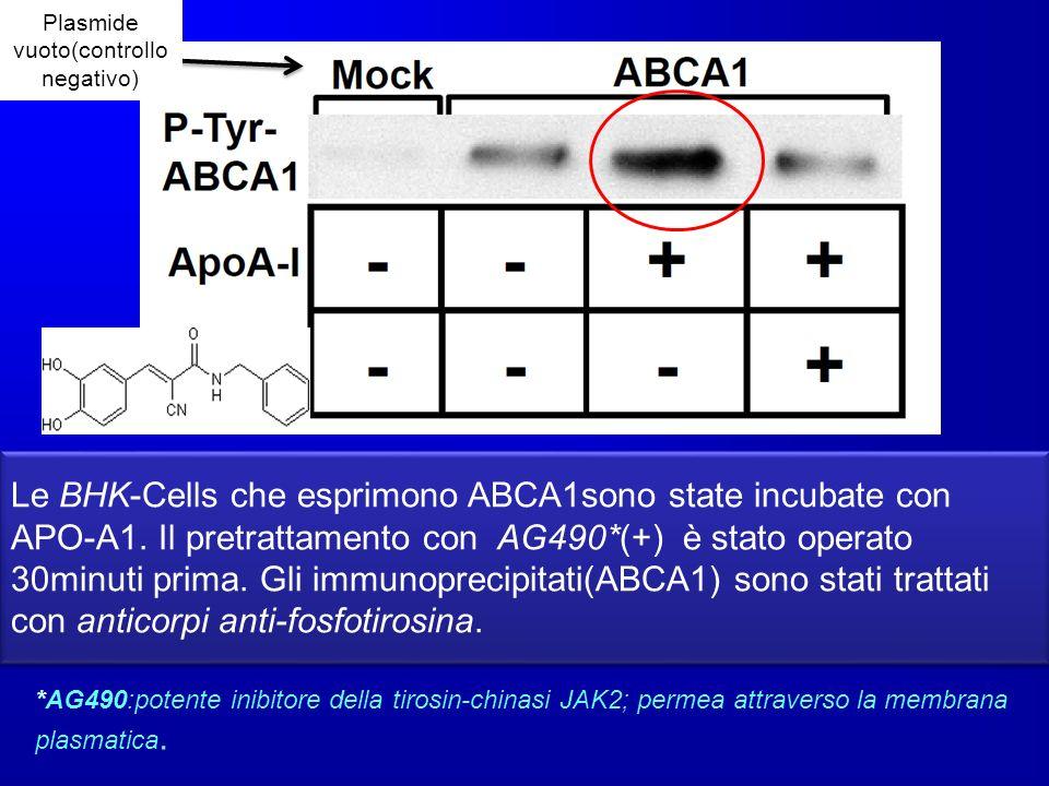 *AG490:potente inibitore della tirosin-chinasi JAK2; permea attraverso la membrana plasmatica. Le BHK-Cells che esprimono ABCA1sono state incubate con