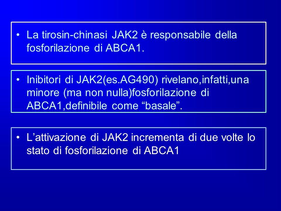 La tirosin-chinasi JAK2 è responsabile della fosforilazione di ABCA1. Inibitori di JAK2(es.AG490) rivelano,infatti,una minore (ma non nulla)fosforilaz