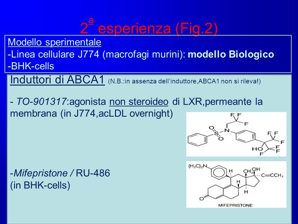 2 a esperienza (Fig.2) Modello sperimentale -Linea cellulare J774 (macrofagi murini): modello Biologico -BHK-cells Induttori di ABCA1 (N.B.:in assenza