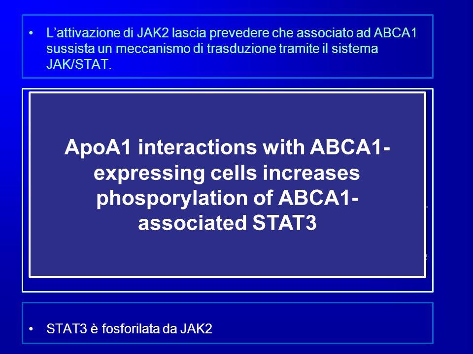 Lattivazione di JAK2 lascia prevedere che associato ad ABCA1 sussista un meccanismo di trasduzione tramite il sistema JAK/STAT. Lincubazione con di BH