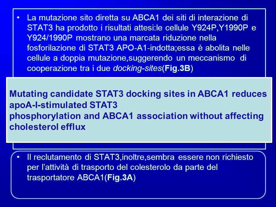 La mutazione sito diretta su ABCA1 dei siti di interazione di STAT3 ha prodotto i risultati attesi:le cellule Y924P,Y1990P e Y924/1990P mostrano una m