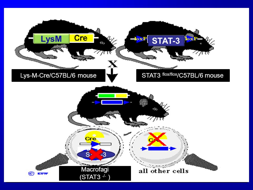 Knock-OUT:metodo Cre-Lox Il metodo Knock-out condizionale più usato è il metodo Cre-Lox, che si basa sullazione della Ricombinasi Cre, che è un enzima