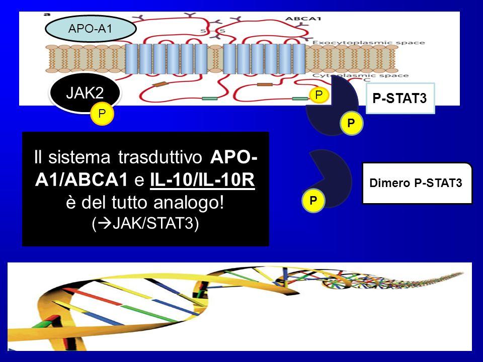 P APO-A1 JAK2 P P P-STAT3 P P Dimero P-STAT3 Il sistema trasduttivo APO- A1/ABCA1 e IL-10/IL-10R è del tutto analogo! ( JAK/STAT3)