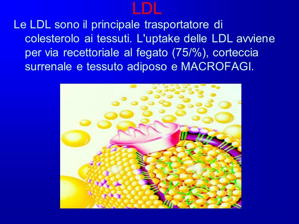 LDL Le LDL sono il principale trasportatore di colesterolo ai tessuti. L'uptake delle LDL avviene per via recettoriale al fegato (75/%), corteccia sur