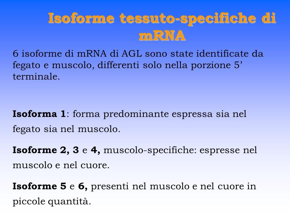 Isoforme tessuto-specifiche di mRNA 6 isoforme di mRNA di AGL sono state identificate da fegato e muscolo, differenti solo nella porzione 5 terminale.