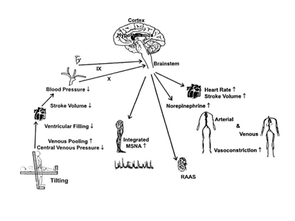 Metodiche per lo Studio del Sistema Nervoso Autonomo n Misura diretta del traffico nervoso in nervi periferici, mediante microneurografia n Spillover delle catecolamine plasmatiche n Analisi delle fluttuazioni spontanee del ritmo cardiaco