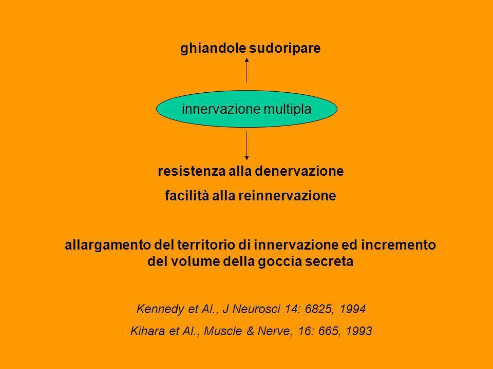 ghiandole sudoripare resistenza alla denervazione facilità alla reinnervazione allargamento del territorio di innervazione ed incremento del volume della goccia secreta Kennedy et Al., J Neurosci 14: 6825, 1994 Kihara et Al., Muscle & Nerve, 16: 665, 1993 innervazione multipla