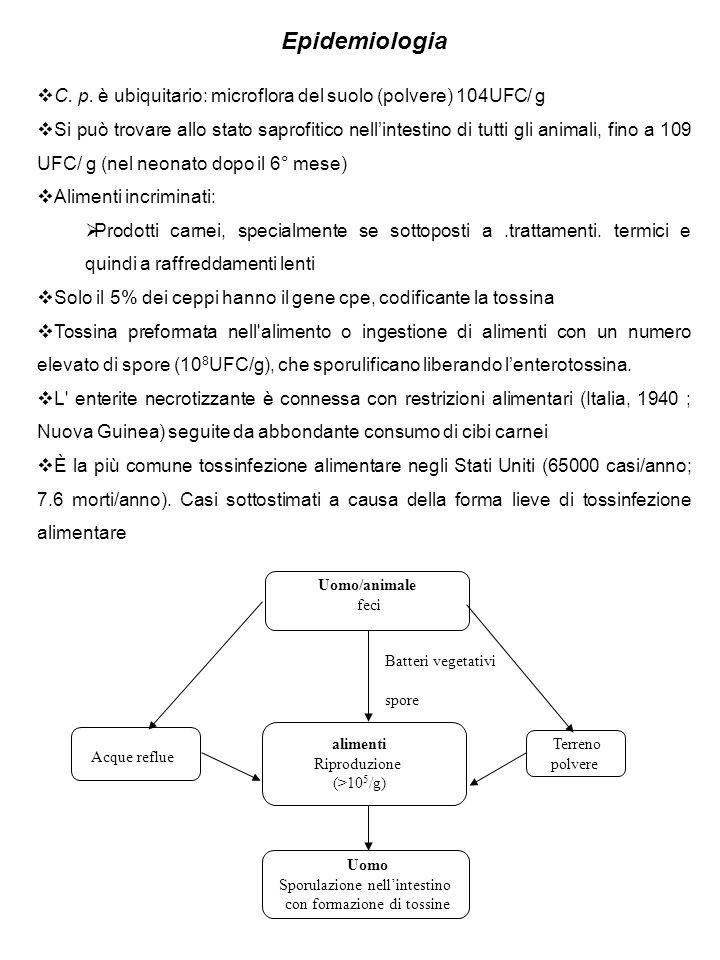 Epidemiologia C. p. è ubiquitario: microflora del suolo (polvere) 104UFC/ g Si può trovare allo stato saprofitico nellintestino di tutti gli animali,