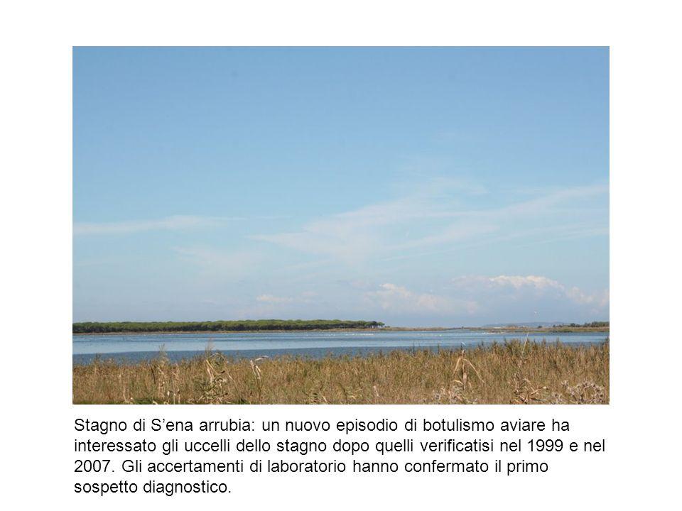 Stagno di Sena arrubia: un nuovo episodio di botulismo aviare ha interessato gli uccelli dello stagno dopo quelli verificatisi nel 1999 e nel 2007. Gl