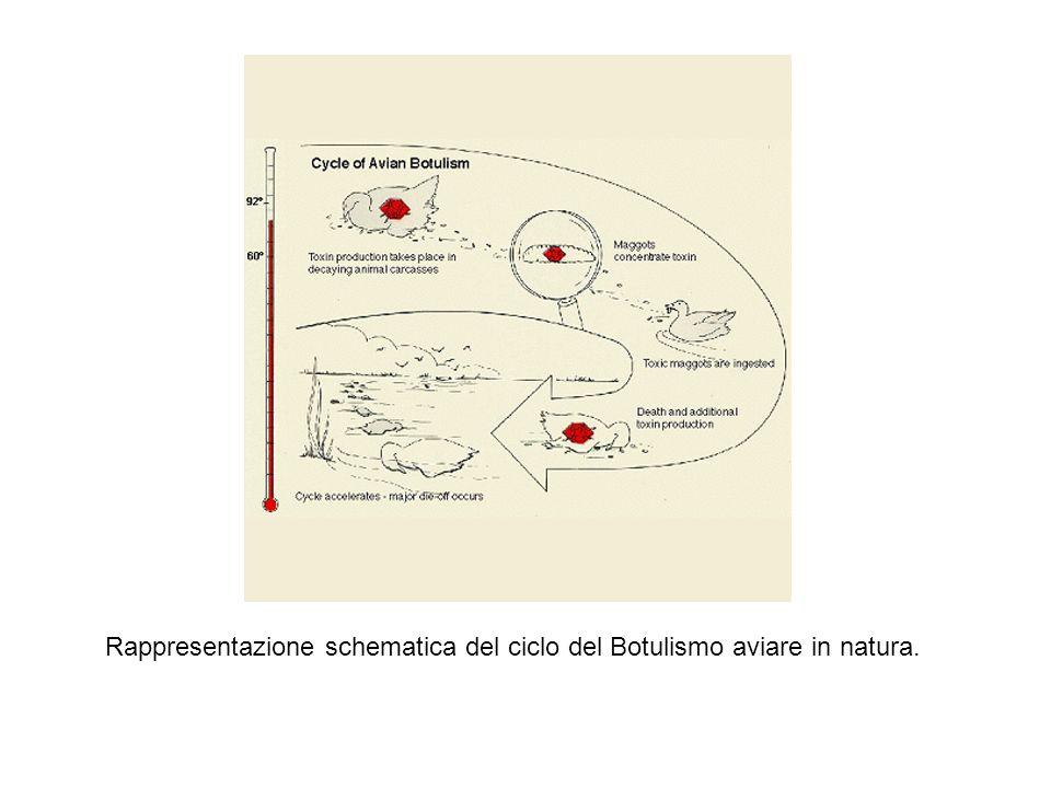 Rappresentazione schematica del ciclo del Botulismo aviare in natura.