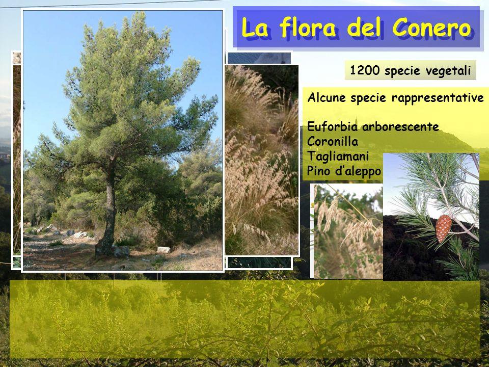 La flora del Conero 1200 specie vegetali Alcune specie rappresentative Euforbia arborescente Coronilla Tagliamani Pino daleppo
