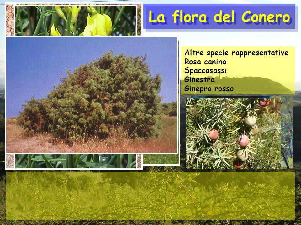 La flora del Conero Altre specie rappresentative Rosa canina Spaccasassi Ginestra Ginepro rosso