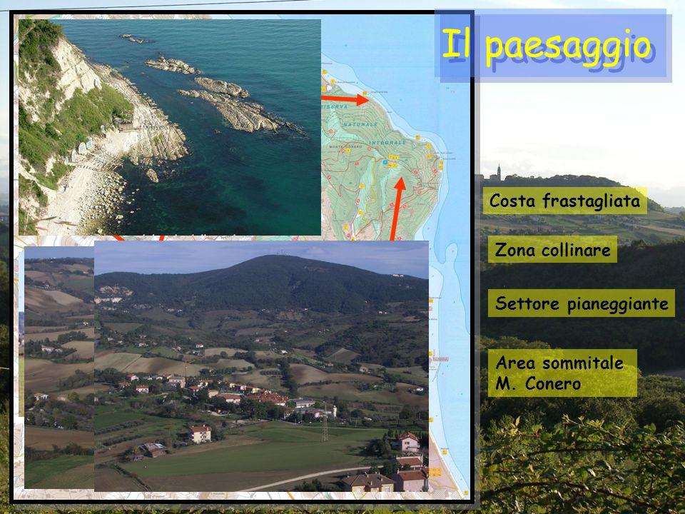 Il paesaggio Costa frastagliata Zona collinare Area sommitale M. Conero Settore pianeggiante