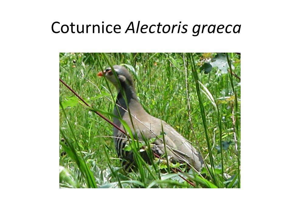 Coturnice Alectoris graeca
