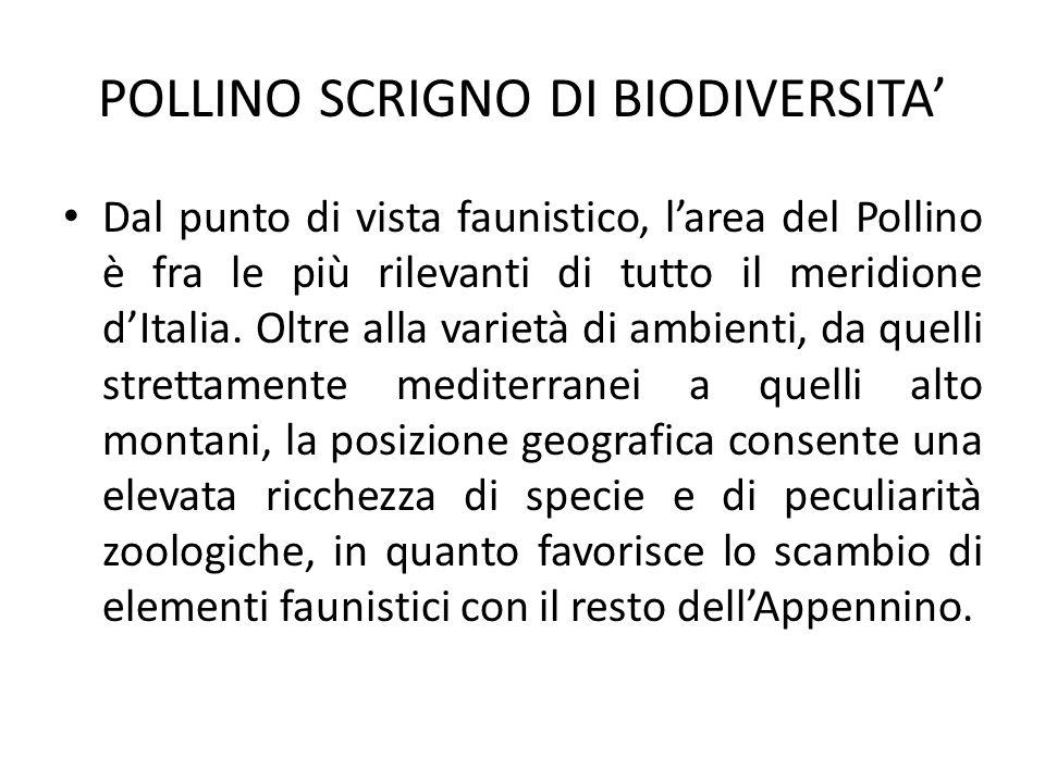 POLLINO SCRIGNO DI BIODIVERSITA Dal punto di vista faunistico, larea del Pollino è fra le più rilevanti di tutto il meridione dItalia.