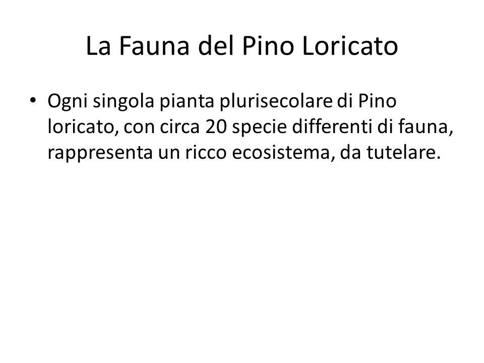 La Fauna del Pino Loricato Ogni singola pianta plurisecolare di Pino loricato, con circa 20 specie differenti di fauna, rappresenta un ricco ecosistema, da tutelare.