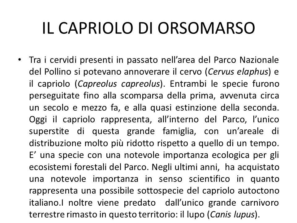 IL CAPRIOLO DI ORSOMARSO Tra i cervidi presenti in passato nellarea del Parco Nazionale del Pollino si potevano annoverare il cervo (Cervus elaphus) e il capriolo (Capreolus capreolus).