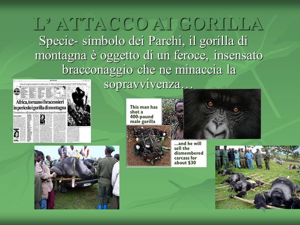 L ATTACCO AI GORILLA Specie- simbolo dei Parchi, il gorilla di montagna è oggetto di un feroce, insensato bracconaggio che ne minaccia la sopravvivenz