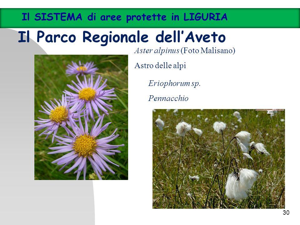 30 Il SISTEMA di aree protette in LIGURIA Il Parco Regionale dellAveto Aster alpinus (Foto Malisano) Astro delle alpi Eriophorum sp. Pennacchio