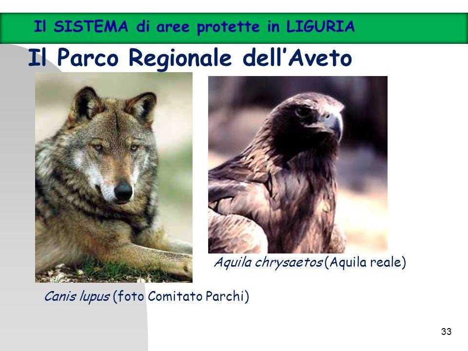 33 Il SISTEMA di aree protette in LIGURIA Il Parco Regionale dellAveto Canis lupus (foto Comitato Parchi) Aquila chrysaetos (Aquila reale)