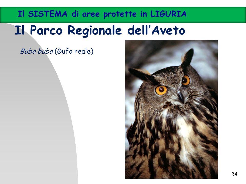 34 Il SISTEMA di aree protette in LIGURIA Il Parco Regionale dellAveto Bubo bubo (Gufo reale)