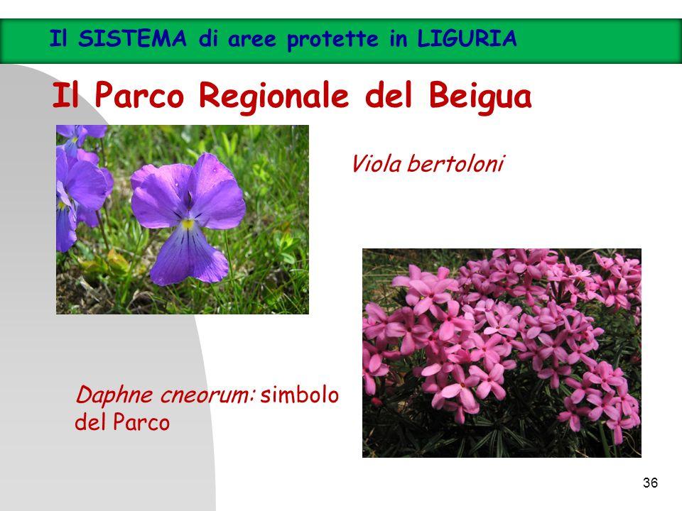 36 Il SISTEMA di aree protette in LIGURIA Il Parco Regionale del Beigua Viola bertoloni Daphne cneorum: simbolo del Parco